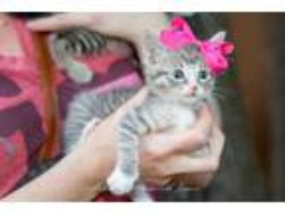 Adopt Allie/AOC a Brown Tabby Domestic Shorthair / Mixed (short coat) cat in