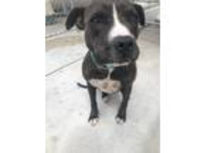 Adopt Poppy a American Staffordshire Terrier / Mixed dog in Logan, UT (25360308)