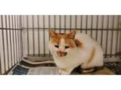 Adopt Stray a Orange or Red (Mostly) American Shorthair / Mixed cat in Rock
