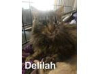 Adopt Delilah a Maine Coon