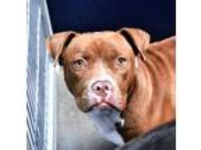 Adopt Hs231730 / Clementine a Pit Bull Terrier
