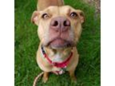 Adopt Chloe a Tan/Yellow/Fawn Pit Bull Terrier / Mixed dog in Wheaton
