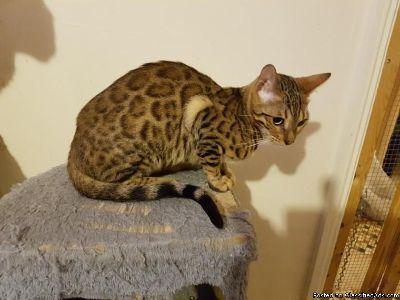Stunning Rosetted Bengal Kittens