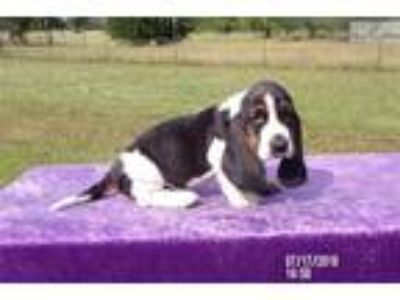 Toby the AKC Basset Hound