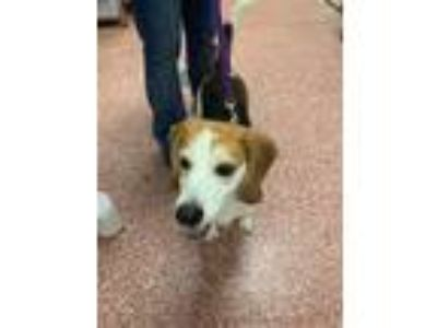 Adopt Baylor - Available At Petsmart Seabrook a Beagle