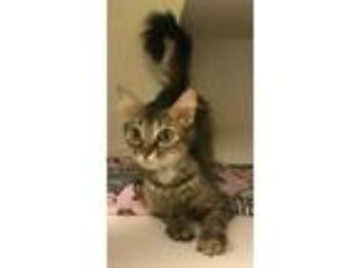Adopt Lady a Orange or Red Domestic Mediumhair / Domestic Shorthair / Mixed cat