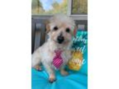 Adopt Eddie! a White Poodle (Miniature) / Dachshund / Mixed dog in Roseville