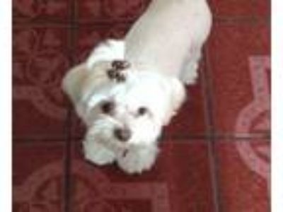 Adopt Pooky a White - with Tan, Yellow or Fawn Lhasa Apso / Terrier (Unknown