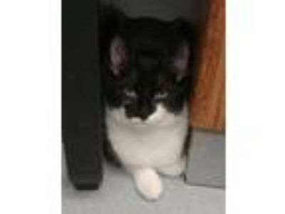 Adopt Bat Girl a Domestic Short Hair