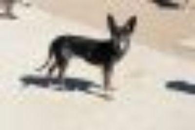 Liz Chihuahua - Miniature Pinscher Dog