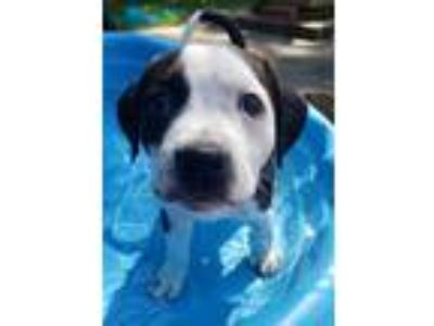 Adopt Viola Fuss a Pit Bull Terrier / Mixed Breed (Medium) / Mixed dog in Little