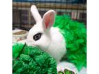Adopt Wilmington a White Other/Unknown / Mixed (short coat) rabbit in Montclair