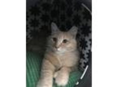 Adopt Scooter a Cream or Ivory Domestic Longhair / Mixed cat in Palatine