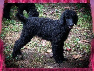 Poodle (Standard) PUPPY FOR SALE ADN-96329 - AKC Black Female Standard Poodle Puppy