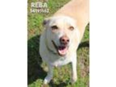 Adopt Reba a Tan/Yellow/Fawn Labrador Retriever / Mixed dog in Gulfport