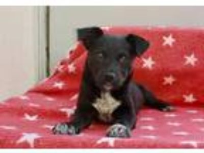 Adopt Tiger Lily a Black - with White Labrador Retriever / Cattle Dog / Mixed