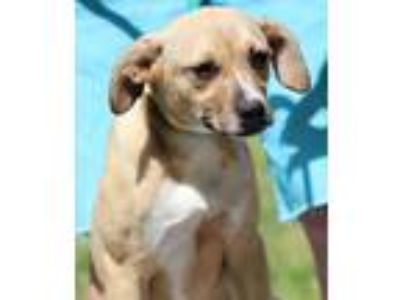 Adopt Penny a Tan/Yellow/Fawn - with White Labrador Retriever / Mixed dog in