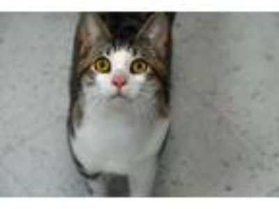 Adopt 10319385 a Domestic Short Hair