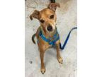 Adopt Zooks a Italian Greyhound, Miniature Pinscher