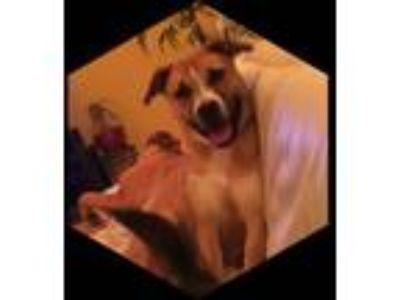 Adopt QUYNH NHU PHAM a Boxer, German Shepherd Dog