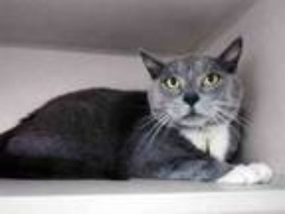 Adopt MURMUR a Domestic Short Hair