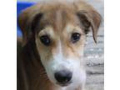Adopt Harry a White - with Red, Golden, Orange or Chestnut Whippet / Retriever