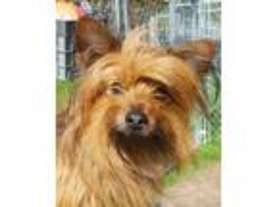 Adopt Picaso a Yorkshire Terrier