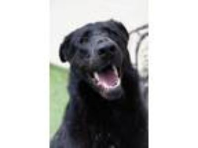Adopt Magnum- Diamond Dog $75 Adoption Fee! a Shepherd, Labrador Retriever