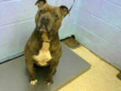 Adopt BUDDA a Brindle American Pit Bull Terrier / Mixed dog in Atlanta