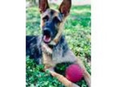 Adopt MERCY a German Shepherd Dog