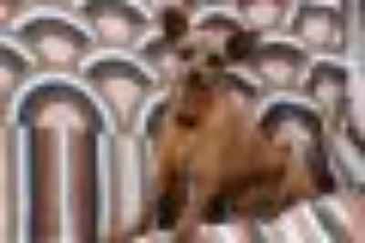 Boston Miniature Pinscher - Doberman Pinscher Dog