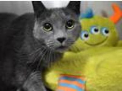 Adopt Max a Domestic Short Hair