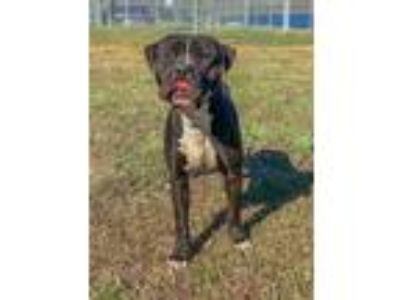 Adopt MILO a Black - with White American Pit Bull Terrier / Mixed dog in