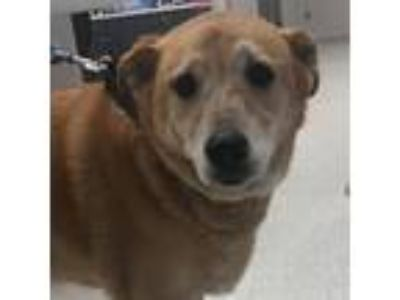 Adopt Candy a Tan/Yellow/Fawn Shepherd (Unknown Type) dog in Jacksonville