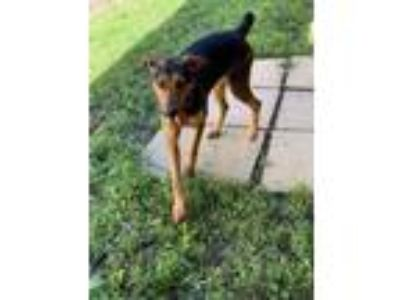 Adopt Queenie a Black - with Tan, Yellow or Fawn Hound (Unknown Type) / Mixed