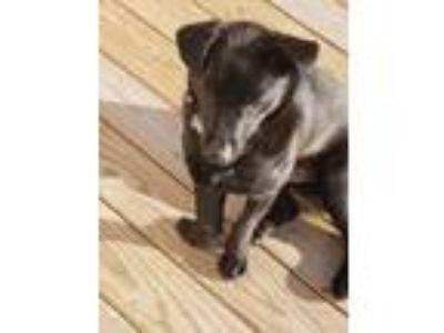 Adopt Buddy a Black Labrador Retriever / Corgi dog in Columbia, SC (25271381)
