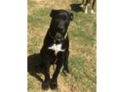 Adopt Gregory a Black Basenji / Flat-Coated Retriever dog in Byhalia