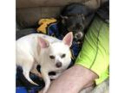 Adopt Chloe & Taz a White - with Black Terrier (Unknown Type