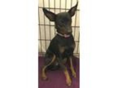 "Adopt Stray Dog ""Castella"" a Miniature Pinscher"