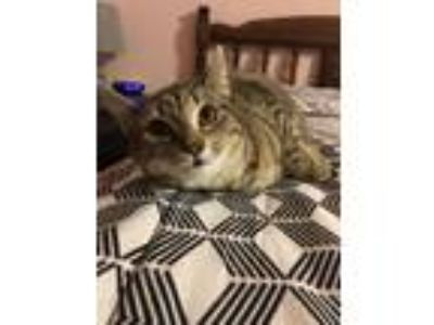 Adopt Kimberly a Domestic Short Hair