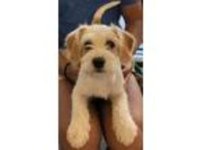 Adopt Bro a White - with Tan, Yellow or Fawn Wirehaired Fox Terrier / Miniature