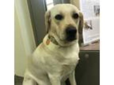 Adopt Lily Bird a Yellow Labrador Retriever