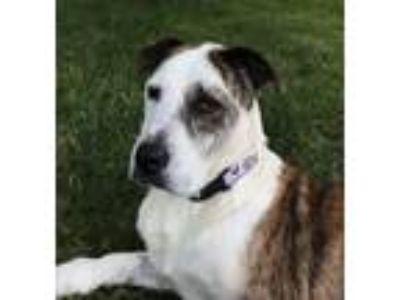 Adopt Henry a Anatolian Shepherd / Shepherd (Unknown Type) / Mixed dog in Dana