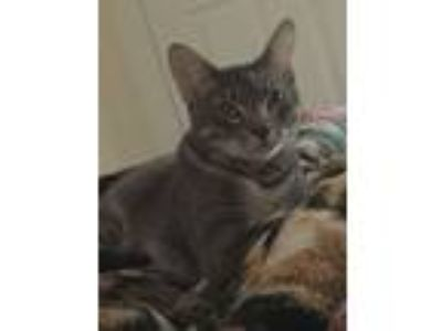 Adopt Hades a Gray, Blue or Silver Tabby American Shorthair / Mixed cat in