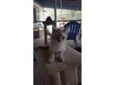 Adopt Lindo a Cream or Ivory Domestic Mediumhair / Siamese / Mixed cat in