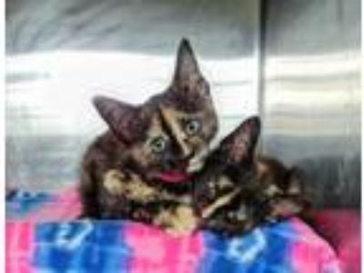 Adopt Sophats a All Black Domestic Shorthair / Domestic Shorthair / Mixed cat in