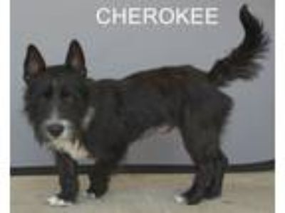 Adopt Cherokee a Scottish Terrier