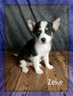 Zeke: Male Pomsky