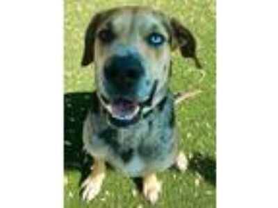 Adopt Everett a Catahoula Leopard Dog, Mixed Breed