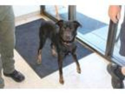 Adopt Turner a Black Labrador Retriever / Mixed dog in Albany, OR (25594797)